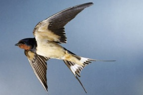 Swallow (bird)