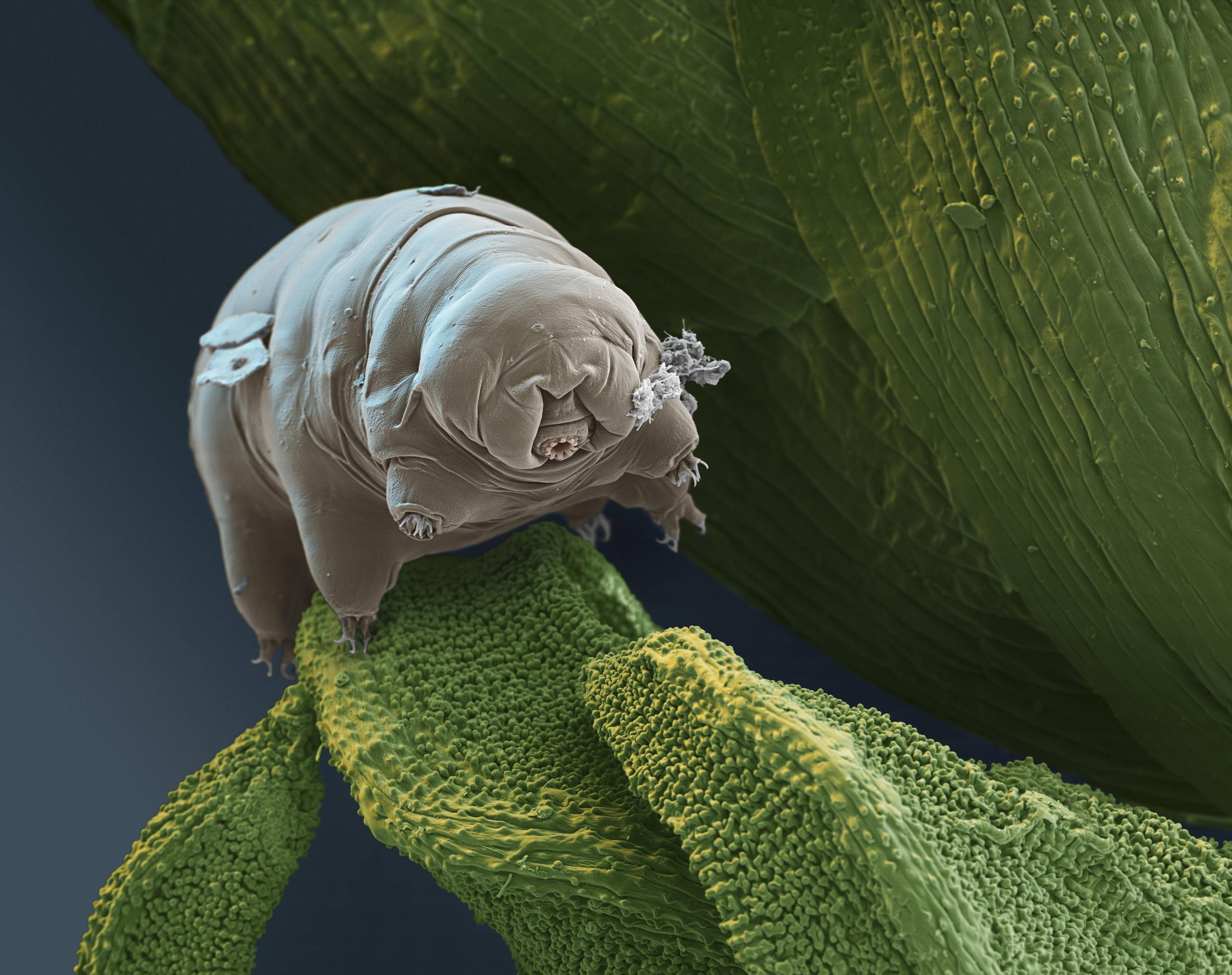Tardigrade through an electron microscope