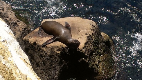 La Jolla Cave Seal Basking in the Sun