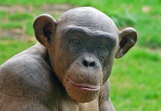 Cinder, a hairless chimpanzee